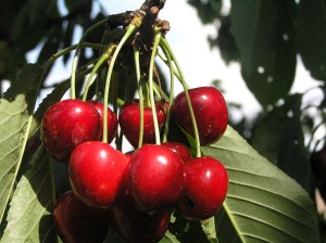 Cherries for Harvest. Image courtesy of stock.xchng®