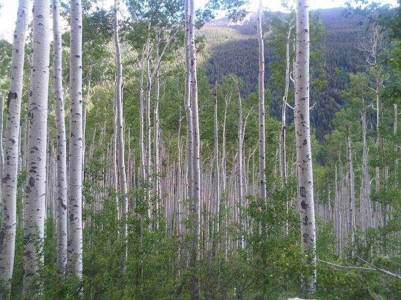 Aspens. Photo courtesy Kristi Felts. ®2010 All rights reserved.