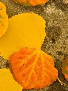 Aspen leaves fall colors